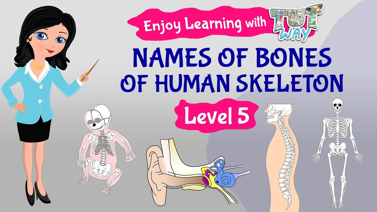 medium resolution of Human Skeletal System and its Functions   Science   Grade-5   Tutway   -  YouTube