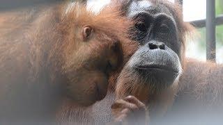 Gober & The Twins: Earth 4 Orangutans Update