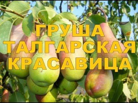 ТАЛГАРСКАЯ КРАСАВИЦА (АЛМААТИНКА, ТАЛГАРКА) - БЛАГОДАРНАЯ ОСЕННЯЯ ГРУША