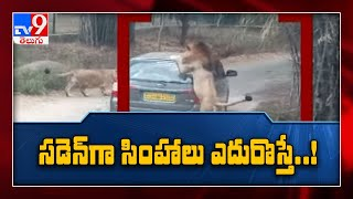 Close encounter with Lion for Safari tourists ! - TV9