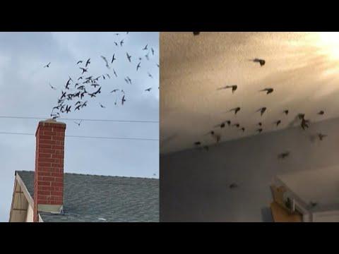 Cientos de pájaros entran en una vivienda por la chimenea