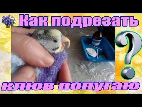 Как обрезать клюв волнистому попугаю в домашних условиях видео