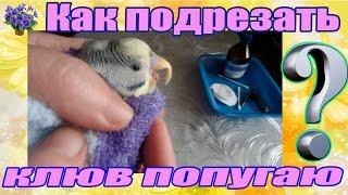 Как правильно подрезать клюв волнистому попугаю в домашних условиях(Как правильно подрезать клюв волнистому попугаю в домашних условиях. Будем друзьями?) Моя партнерка AIR http://jo..., 2016-03-15T11:45:51.000Z)