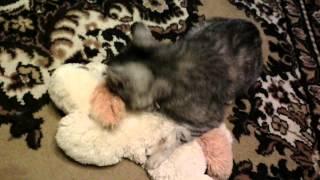 Лютая кошка рвет собаку