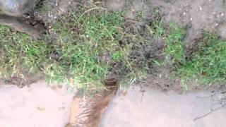 Border Terrier Ratting