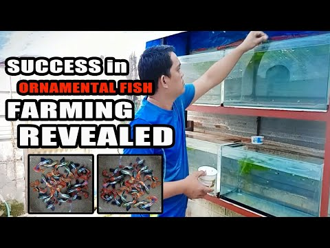 Success In Ornamental Fish Farming Finally Revealed (English Subtitle)