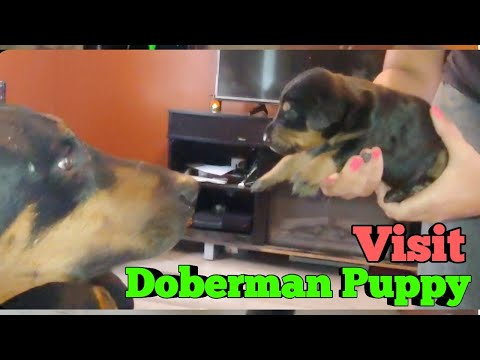 Doberman Pinscher Puppies for Adoption - Visiting the Litter of baby dobies 👶 🐕