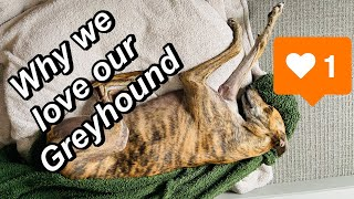 Owning an adopted Greyhound exracer