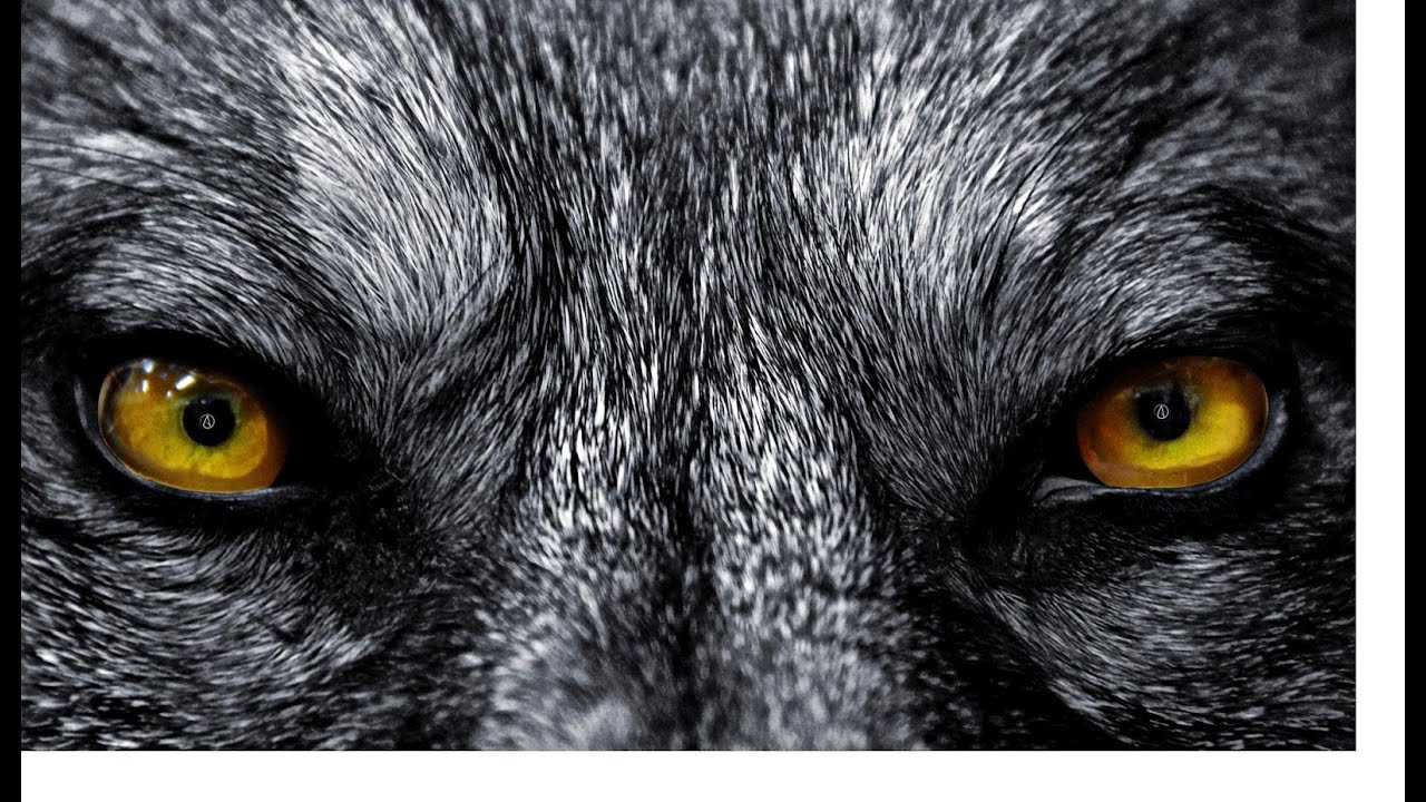 Angry black wolf red eyes - photo#9