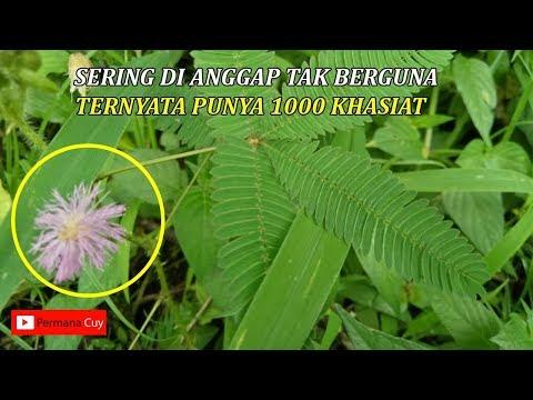 selama-ini-sering-di-anggap-tumbuhan-liar,ini-dia-khasiat-mengejutkan-daun-putri-malu