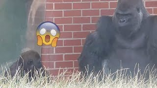 Video Frustrated gorilla takes it out on son download MP3, 3GP, MP4, WEBM, AVI, FLV Agustus 2017