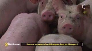 Peut-on se passer d'antibiotiques dans les élevages ?