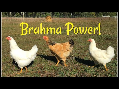 Brahmas! The Best Foragers!