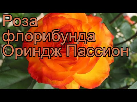 Роза флорибунда Ориндж Пассион 🌿 обзор: как сажать, саженцы розы Ориндж Пассион