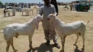 Bakra Mandi Pakistan ek number Bakre pure rajanpuri Mohammad Sabir got farm Dera Ghazi Khan