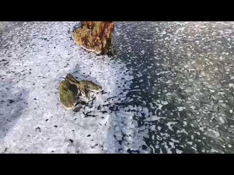 Aparecen miles de bocartes en la orilla de la playa de Helgueras