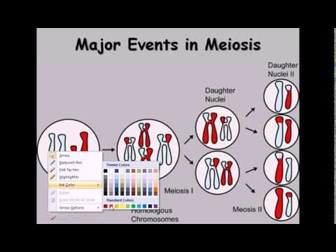 9  Meiosis (cell division phases)