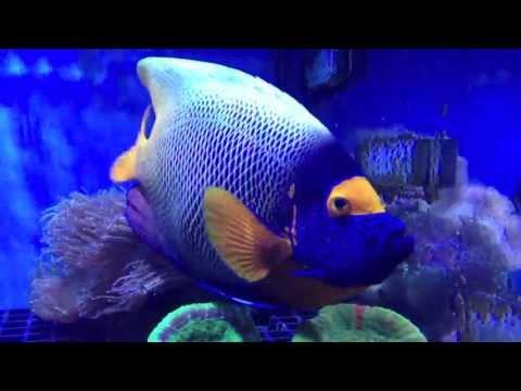 Blueface Angelfish At Maidenhead Aquatics @ Windsor