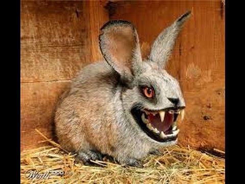 Как определить пол кроликов.Ищем настоящего альфа самца.