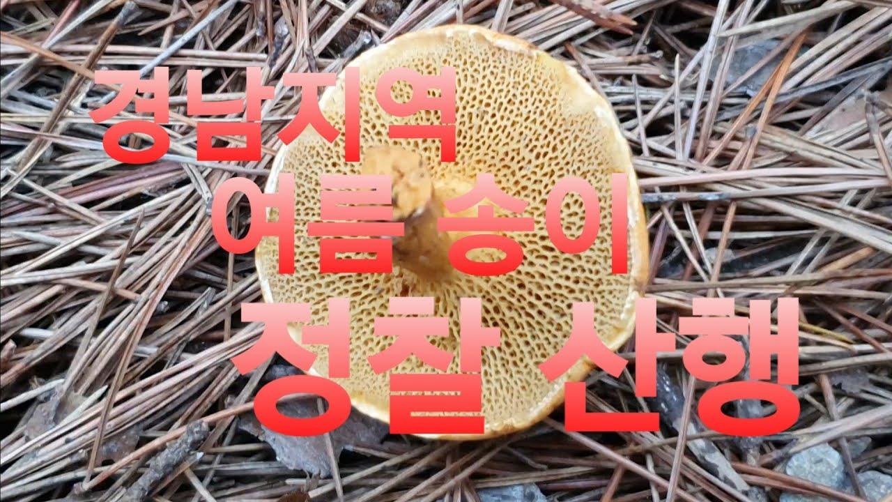 경남지역 여름 송이 정찰 산행정보~