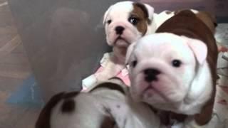 3月16日に生まれたEnglishBulldogPuppy達!!元気に育ってるよ!! http...