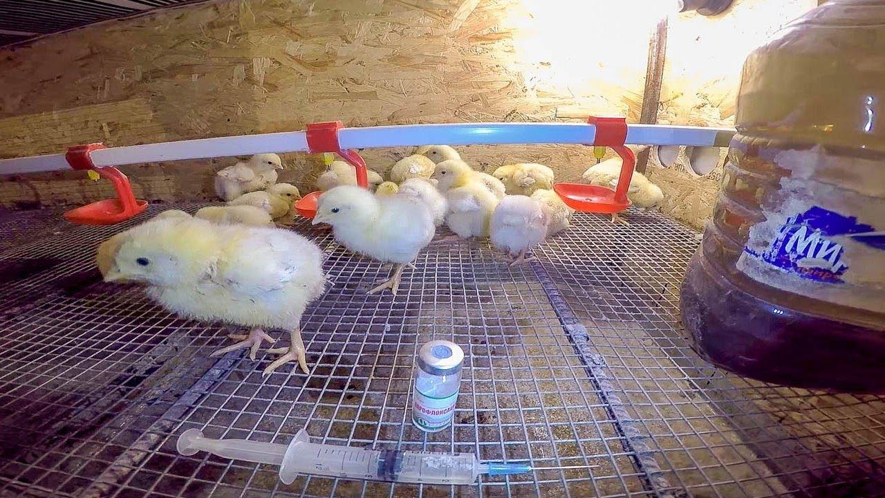 . Несушки продают наши покупатели суточных цыплят в возрасту с 6 по 20. В европе можно курочки доминант цз купить в австрии, германии,