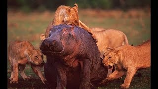 Animals attack - Lions attack Hippos and Warthogs - Animal fights
