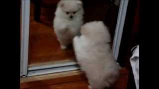 Cotton The Fluffy White Teacup Pomeranian, Spends More Time In The Mirror Than Me!