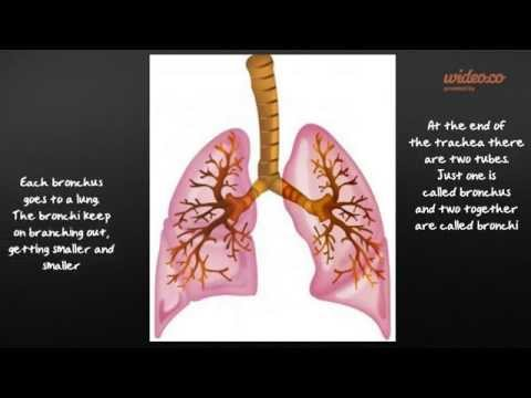 How the respiratory and circulatory systems work together!