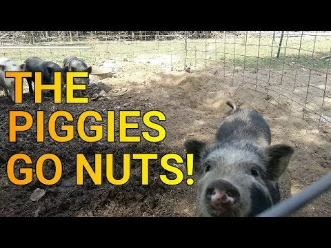In Search of NUTS!  AKA Free Piggy Food!