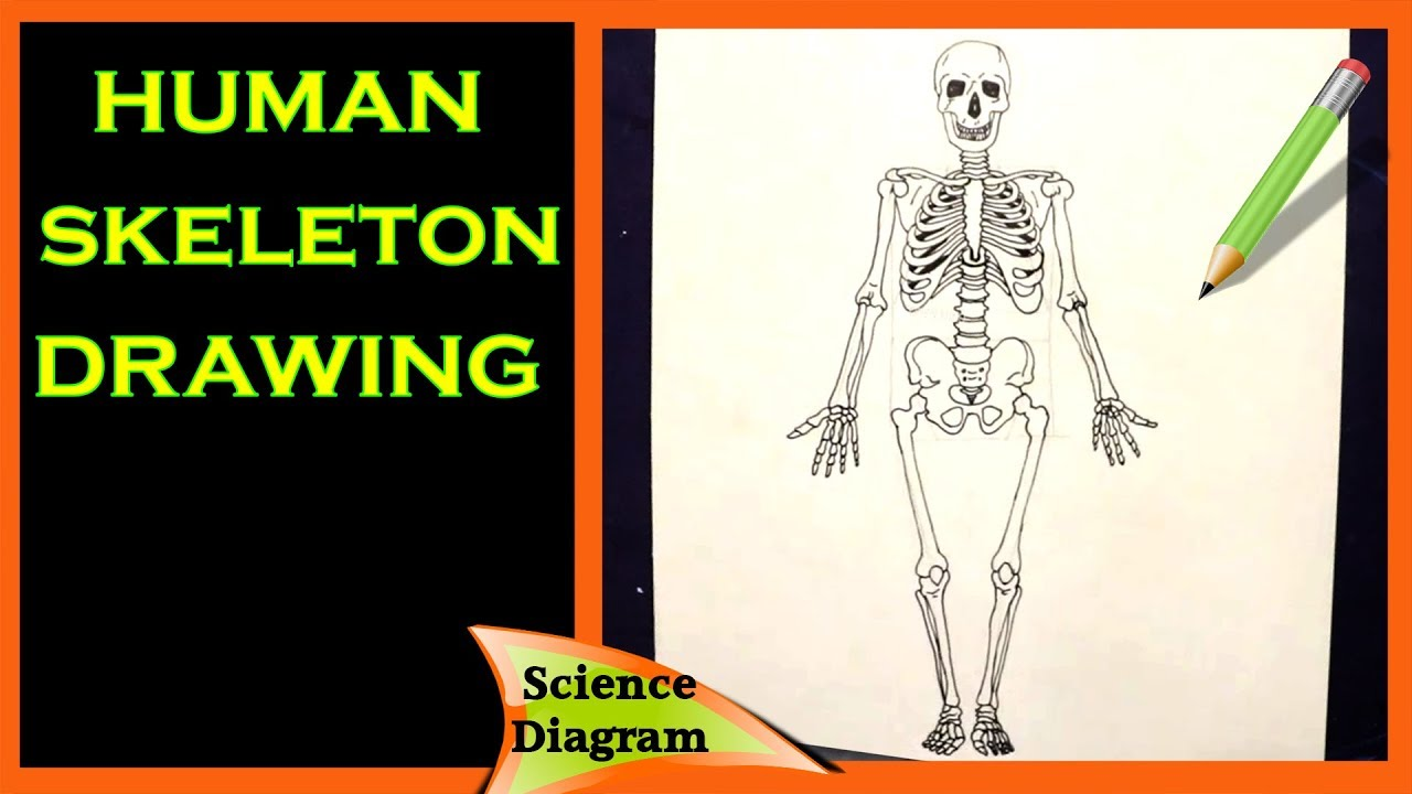 How to draw the human skeleton diagram || The human ...