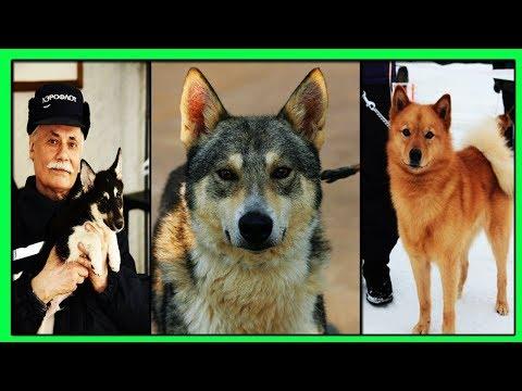 Собака Сулимова-Гибрид Шакала и Ненецкой Оленегонной Собаки.Суперсобаки с Супер Нюхом!