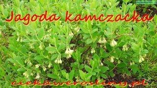 Jagoda kamczacka  Lonicera caerulea owoce