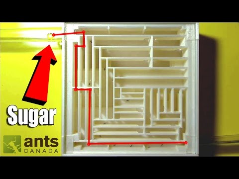 Ants Do Crazy Things For Sugar (feat. Fire Ants & Crazy Ants) | Ant Sugars Tutorial