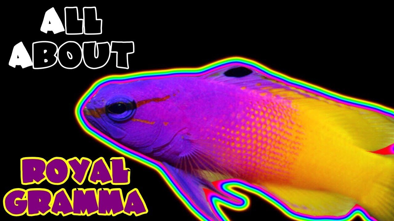 All About The Royal Gramma Basslet Youtube