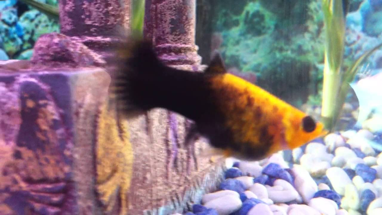 Pregnant gold dust molly fish youtube for Pregnancy and fish