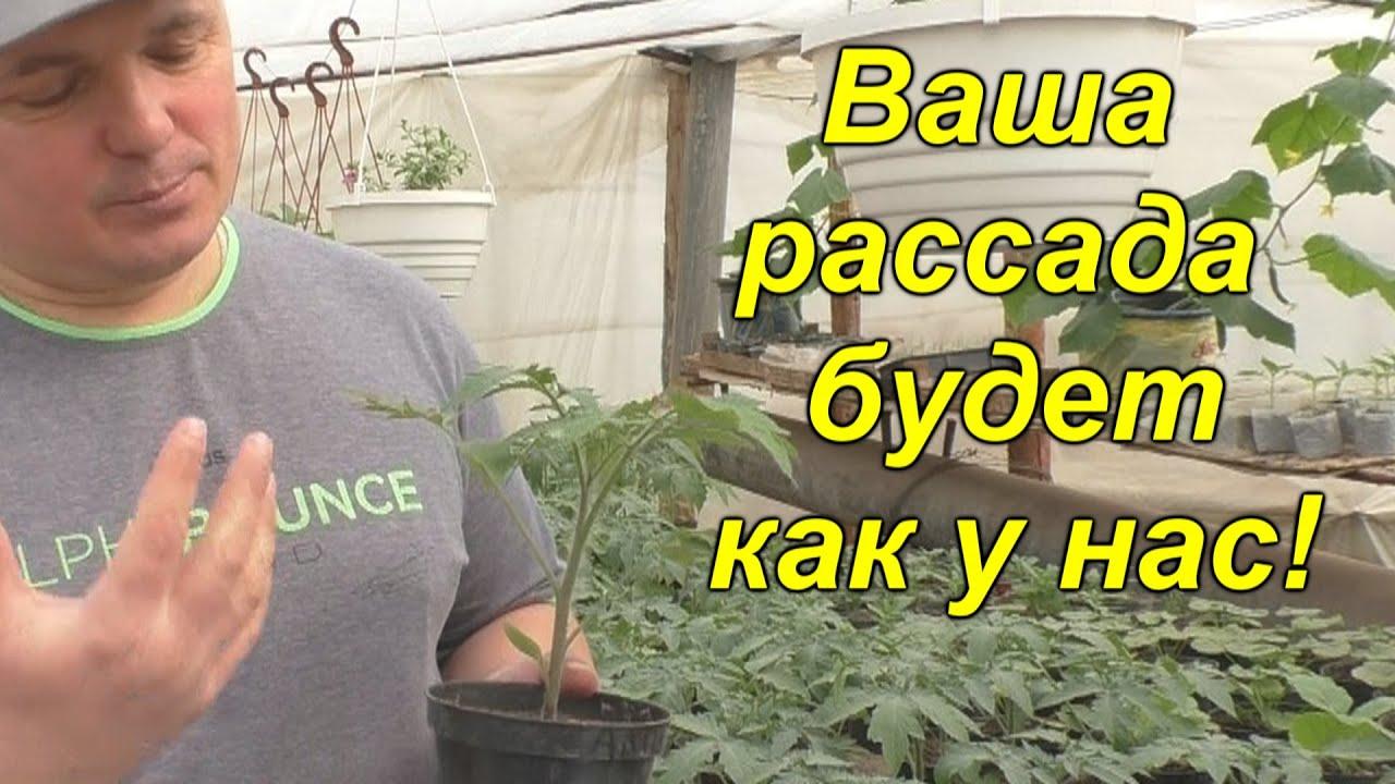 Вот почему у нас ВСЕГДА крепкая, приземистая рассада! Золотые правила выращивания рассады!