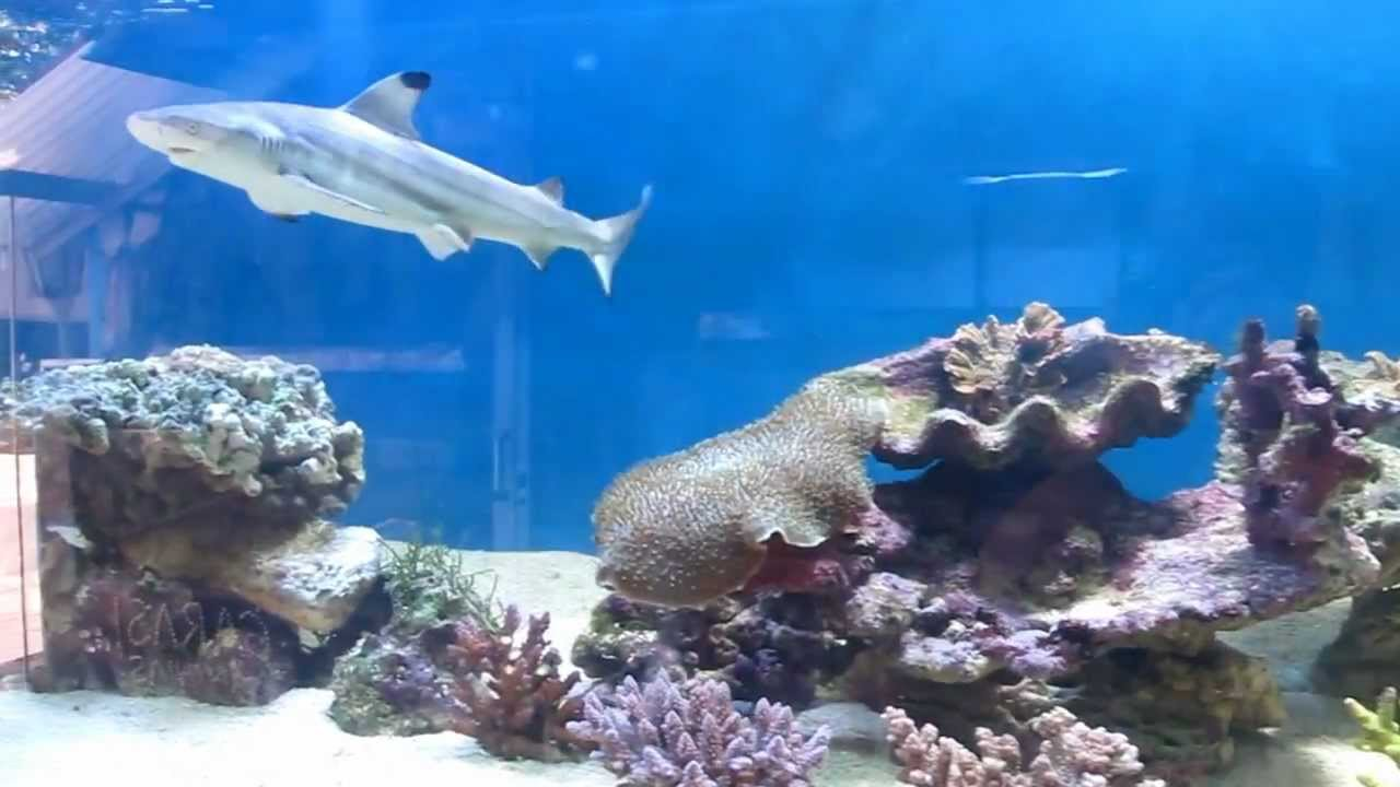 Black tip shark in 3 mtr size aquarium - YouTube