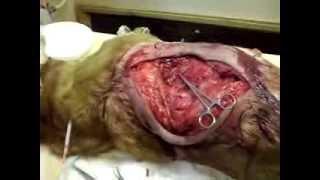 Операционное поле после удаления огромной саркомы у собаки.