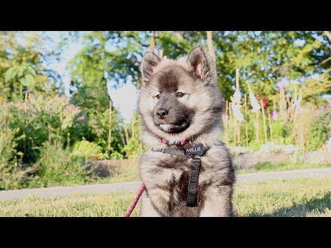 first-week-with-a-puppy-(e03)-#12weekpuppychallenge