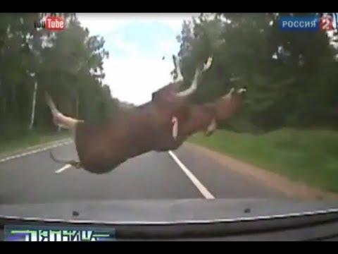 Столкновения лосей с автомобилями, непригодные проходы