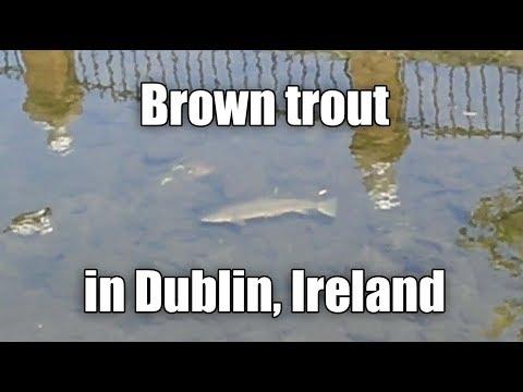 Wild Brown Trout In River, Dublin City, Ireland