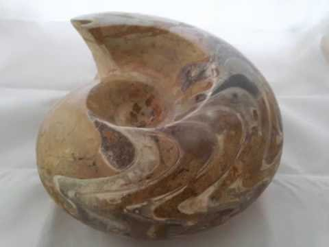 Goniatite Moroccan Fossil | Goniatitic Ammonite | Massive Devonian Goniatite for Sale