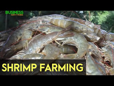 Shrimp Farming In The Philippines
