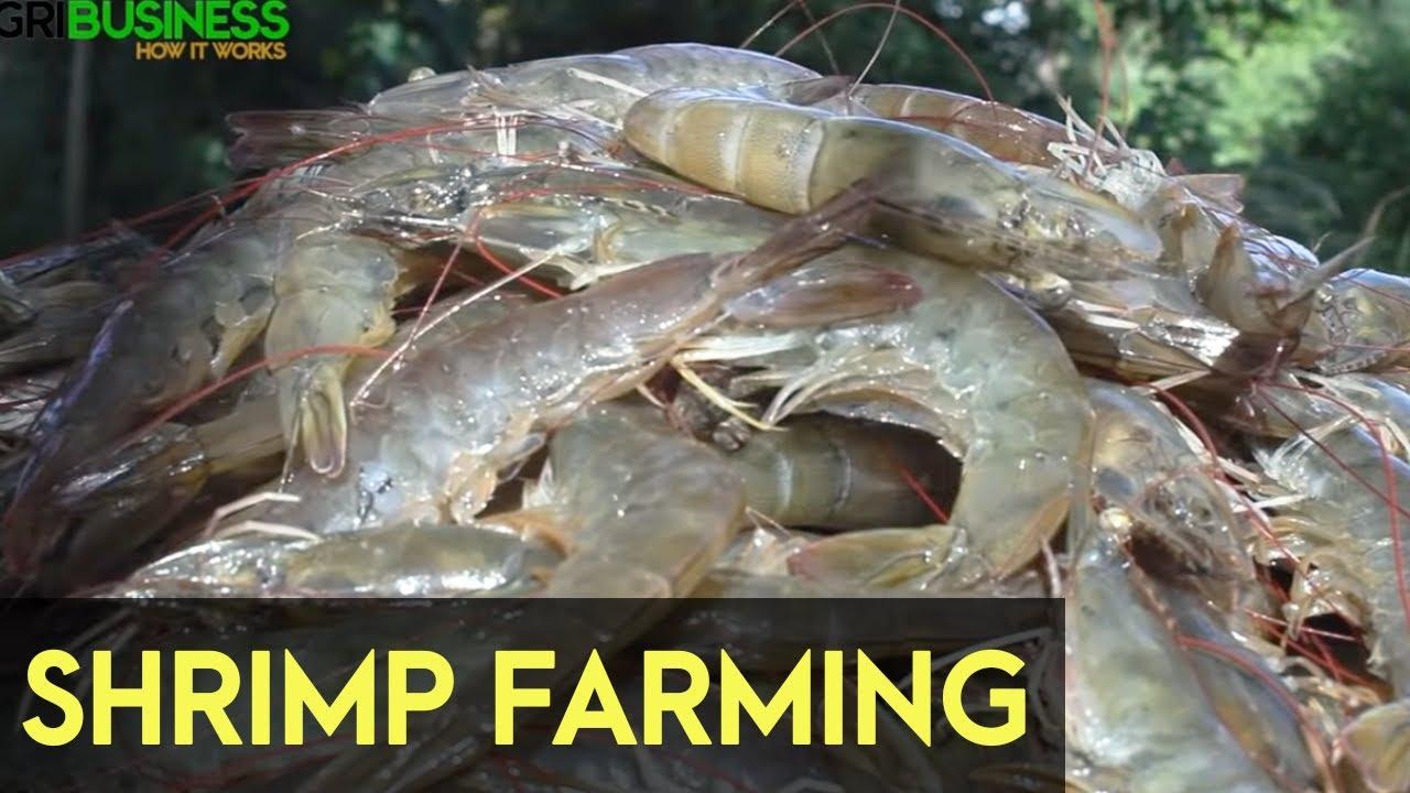 Shrimp Farming in the Philippines