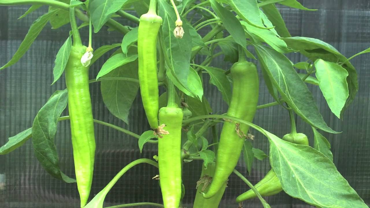 Pictures Of Ripe Banana Peppers