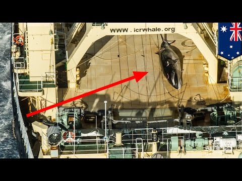 Illegal Japanese whaling: ship caught with minke in Australian sanctuary - TomoNews