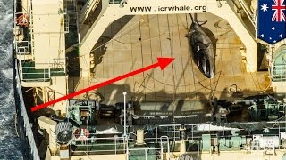 Illegal Japanese whaling  ship caught with minke in Australian sanctuary   TomoNews