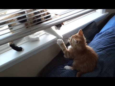 Adorable Kittens Playing In Window Blinds