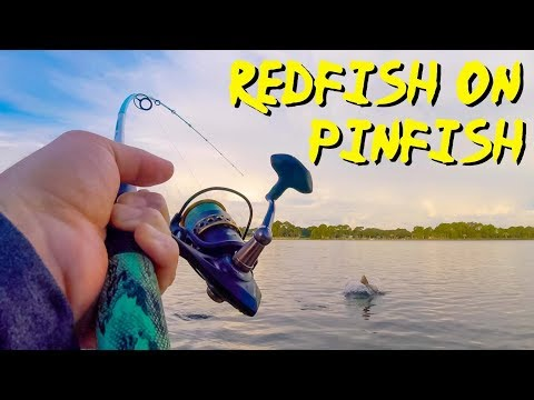 Big Redfish On Pinfish - Where And How To Catch Both In Destin Florida